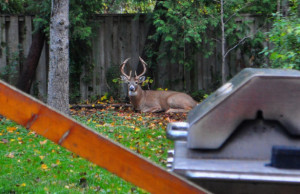backyard_deer