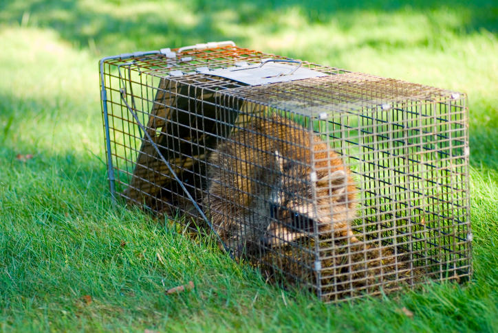 Wild Backyard Animals : Backyard Wildlife  Urban Wildlife in Toronto